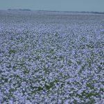 Flax field in bloom